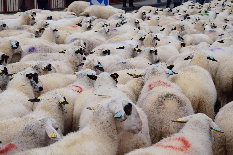 Des ovins dans votre ville